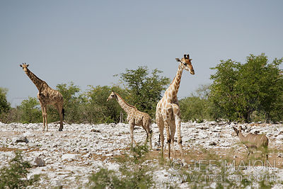 Giraffes and trees