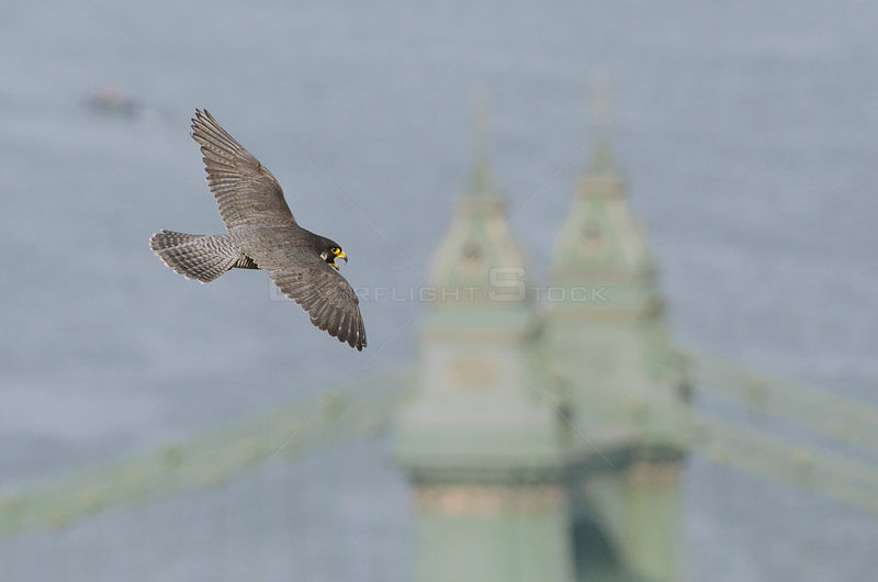 Peregrine falcon (Falco peregrinus), adult female in flight over  bridge and River Thames. Hammersmith, London, UK. May.