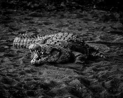 Crocodile on the sand © Laurent Baheux