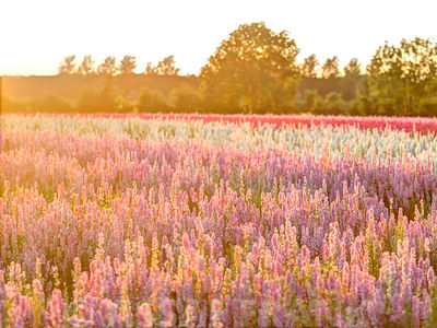 Delphinium field at dusk, Worcestershire, UK