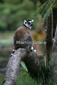 Ring-Tailed Lemur (Lemur catta), Madagascar