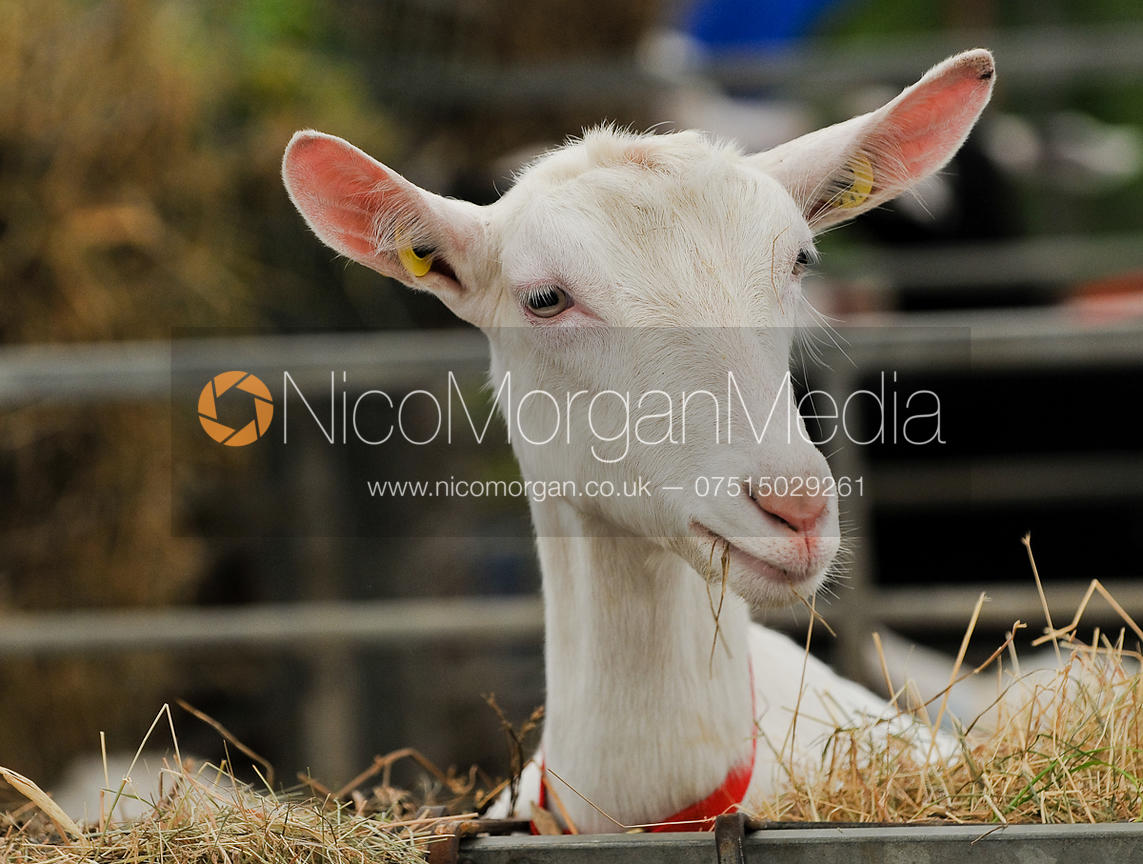 Headshot of goat being shown at Rutland Show
