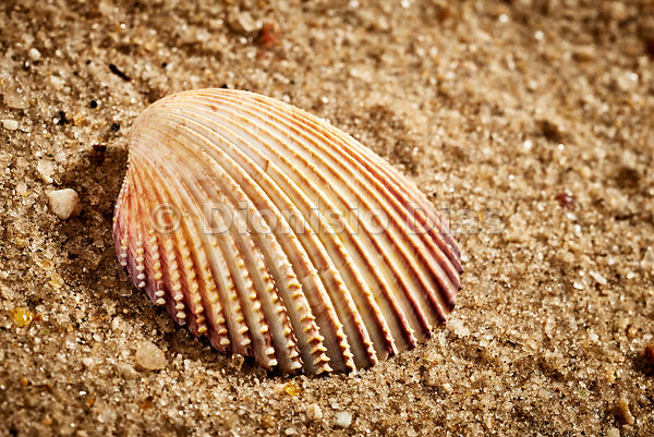 Sea shell isolated in the sand