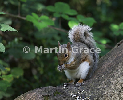 Grey Squirrel (Sciurus carolinensis), Carnforth, Lancashire, England