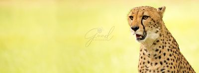 Cheetah Close-up Website Banner