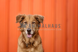 Golden in front of orange wall
