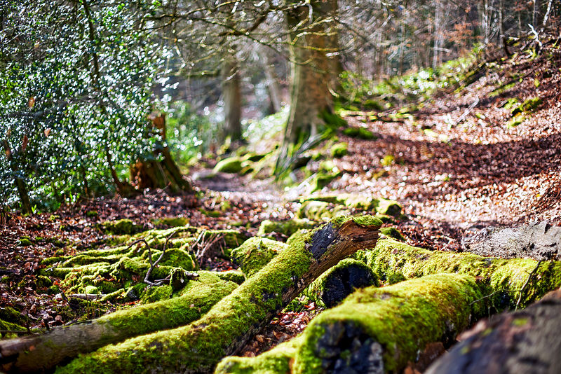 Moss covered logs lying on the forrest floor