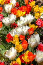 Close Up of Various Coloured Spring Tulips.