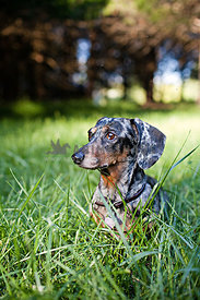 dachshunds sitting in grass