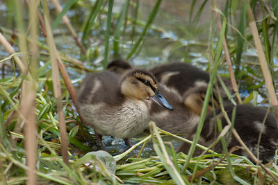 Pacific Black Ducklings