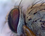 FLY: extreme close-up of a compound eye of a housefly #2.
