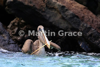 Brown Pelican (Pelecanus occidentalis urinator) on the sea surface, holding something in its bill, Sombrero Chino, Galapagos ...