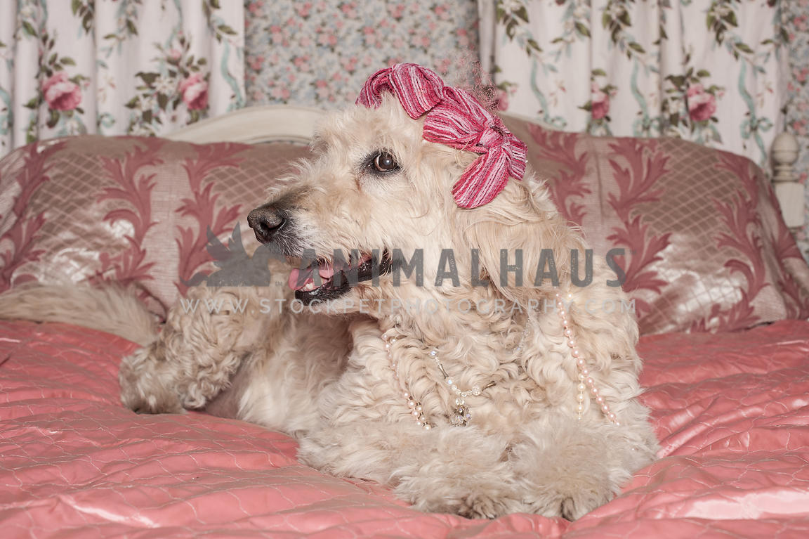 Animalhaus Media | Pretty goldendoodle in vintage hat laying ...