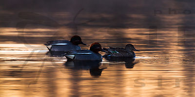 Teals at Dawn