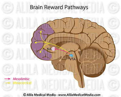 Major brain reward pathways