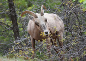 Bighorn Sheep Grazing on Trees