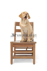 Yellow lab sittingon chair barking against white background