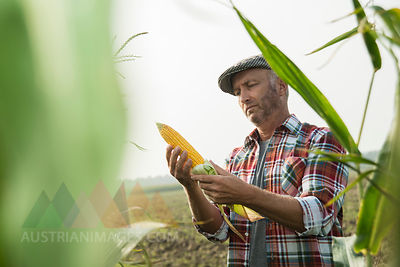 Portrait of farmer controlling corn cob in a maizefield