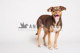 A mixed breed standing on a white background