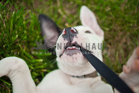 Puppy playing and chewing on a black leash