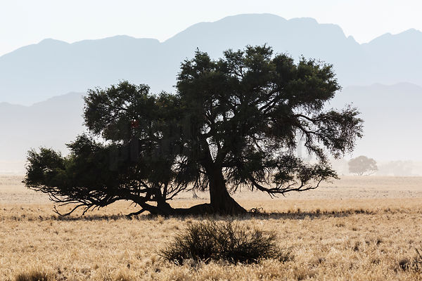 Camelthorn Tree on the Sesriem Plain