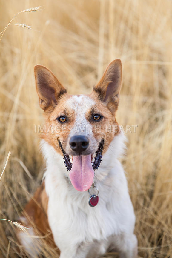 Close Up of Dog In Field Looking at Camera