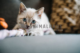 tiny lynx point kitten with blue eyes plays with a rope toy on couch