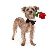 Terrier Mix With Rose and Bow Tie