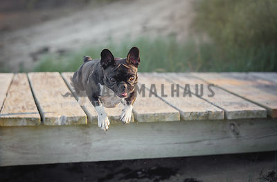Brindle French Bulldog jumping off a dock at the beach