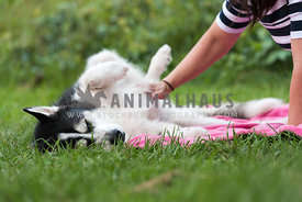 Malamute getting belly rubs on grass