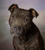 Head shot of pit bull in studio