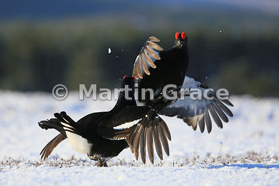 Two male Black Grouse (Lyrurus (Tetrao) tetrix) fighting on the lek, Royal Deeside, Scotland