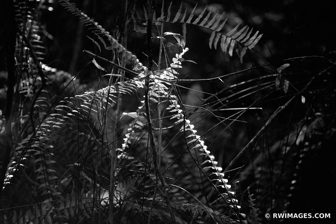 Ferns subtropical jungle gumbo limbo trail everglades national park florida black and white