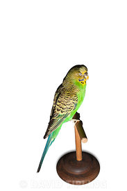 Sparkie the Budgerigar 1954-62 winner of the 1958 BBC cage bird contest and famed for being able to recite ten nurset rhymes,...