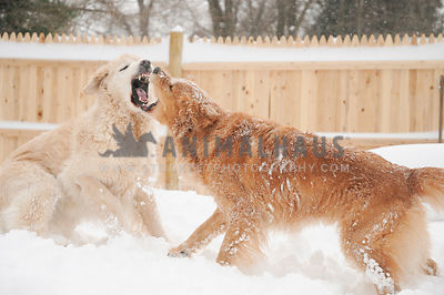 Golden Retrievers Play Fighting in the snow 2