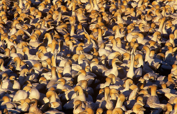 Cape gannet (Sula capensis) colony, Lambert's Bay, South Africa, vulnerable species
