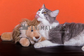 grey tabby kitten licking the mane of a stuffed lion toy