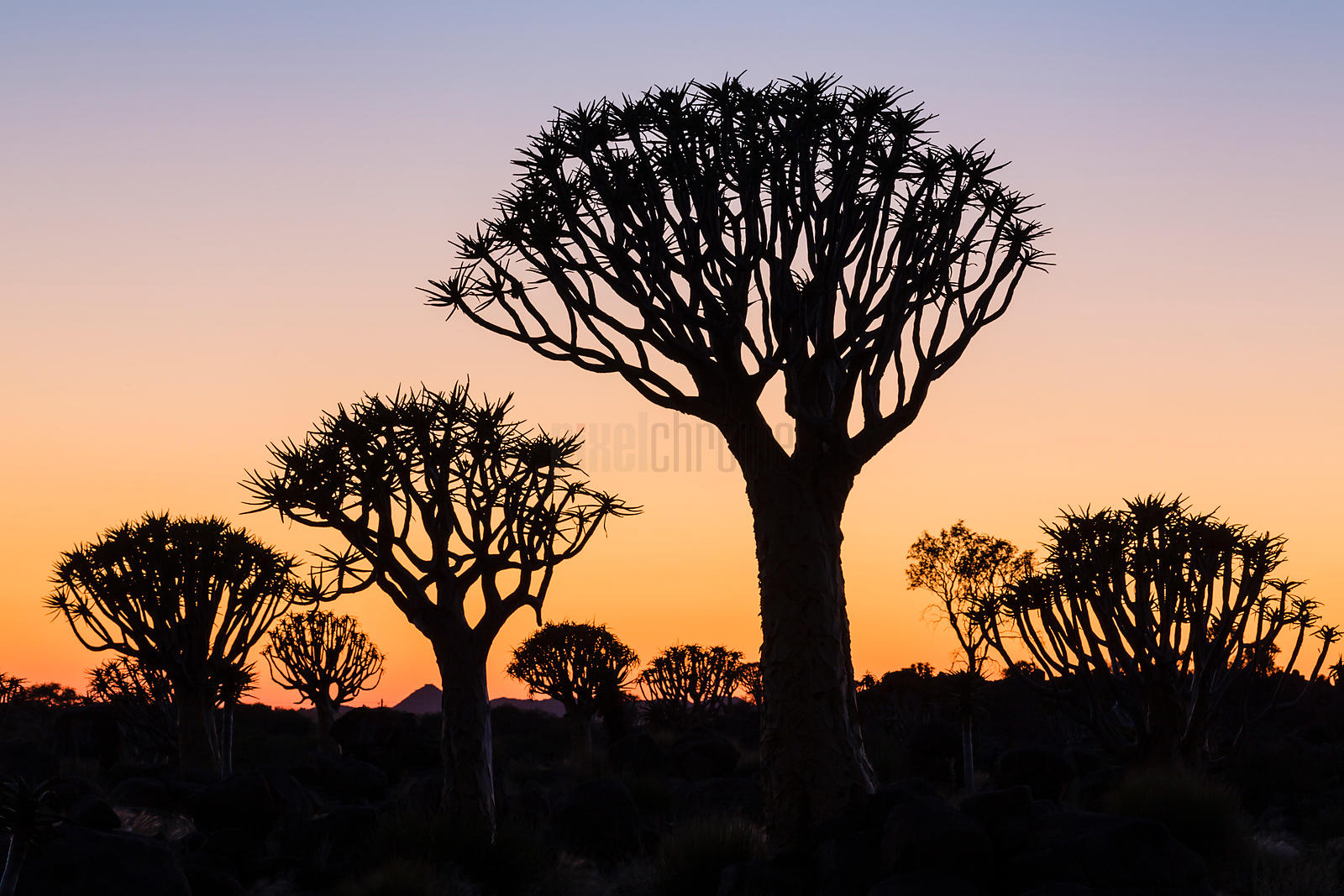 Quiver Tree Forest at Dawn