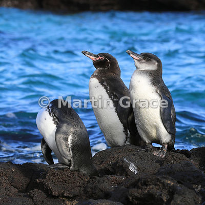 Galapagos Penguins (Spheniscus mendiculus), Sombrero Chino, Galapagos Islands