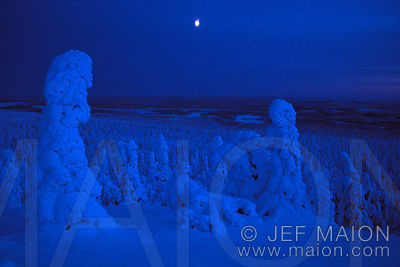 Moon and snow-capped spruces at night-fall