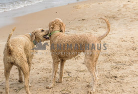 Standard size doodle dogs, light colored wearing collars and mouths open and playing on beach