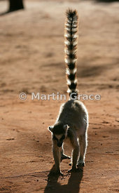 Ring-Tailed Lemur (Lemur catta) backlit in late afternoon sun, Berenty, Madagascar