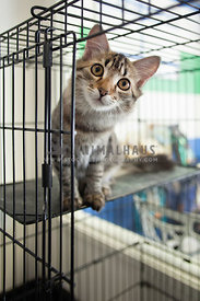 Tabby-Kitten-Peeking-Out-Shelter-Cage