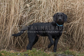 Black labrador in tall dried grass