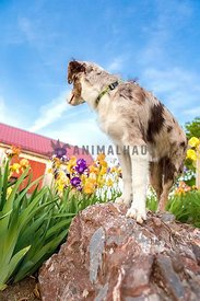 farm dog standing on rock looking at barn