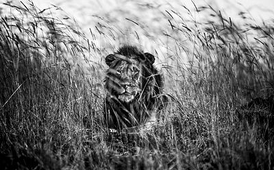 Lion in the grass II, Kenya 2013 © Laurent Baheux