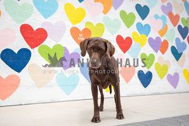 chocolate lab standing in front of a wall of colorful painted hearts