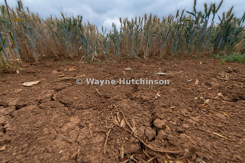 Barley growing on ground suffering from drought, with cracks in the soil, Cotswolds, UK.