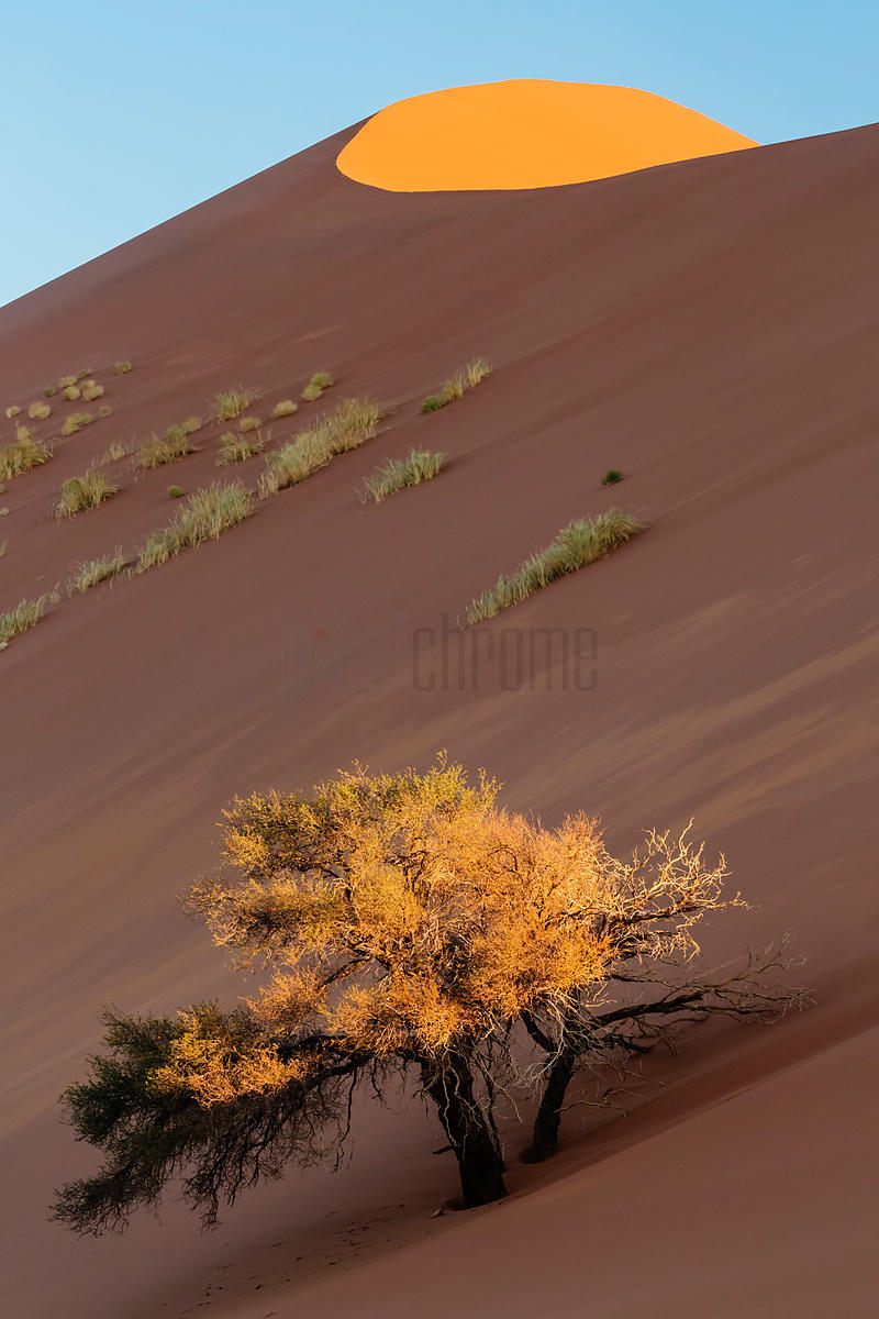 Camelthorn Tree and Sand Dune at Sunset