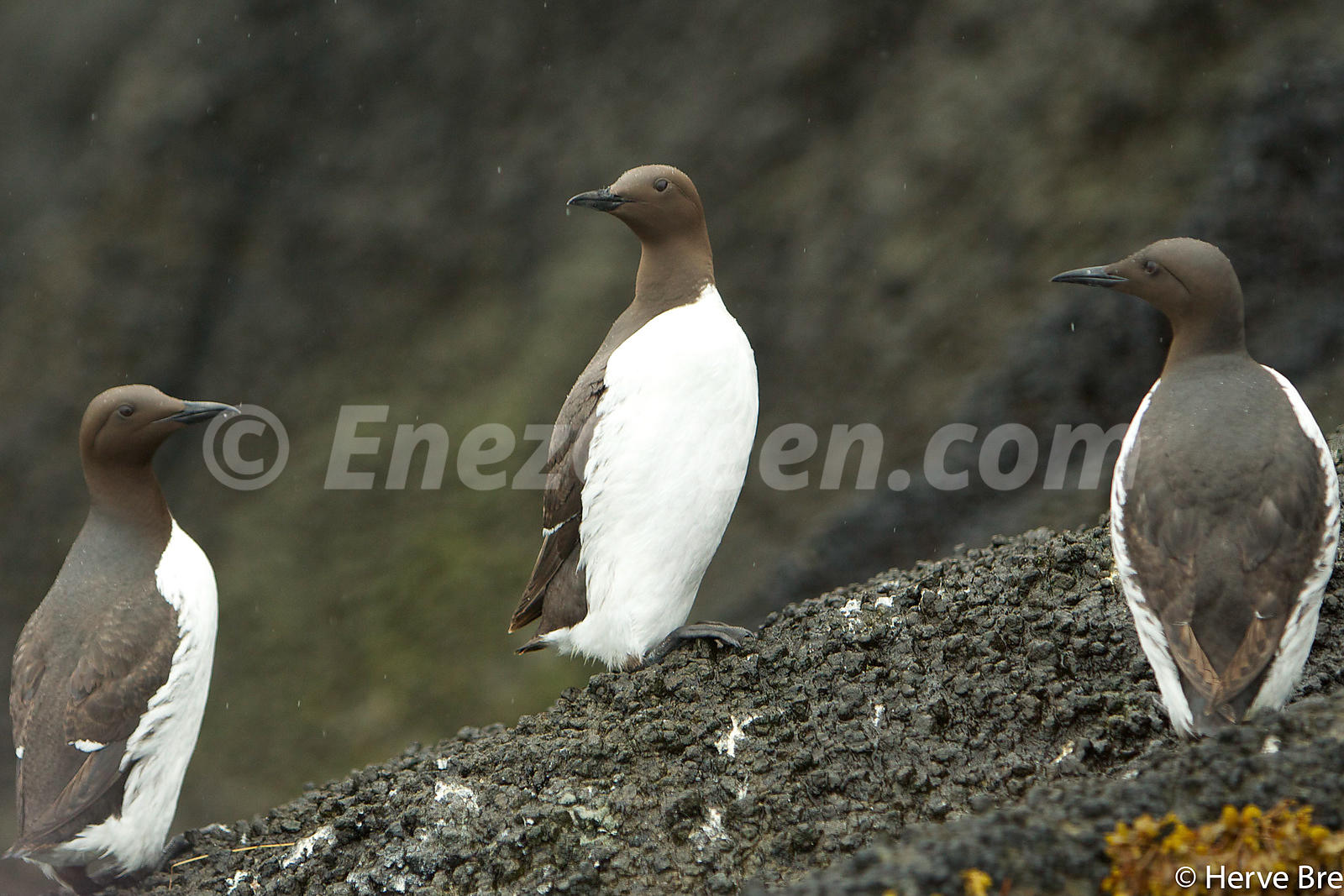 Common Guillemot in Outer Hebrides